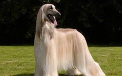 Если вам нужна красивая собака. то вам лучше завести собаку-Весы.
