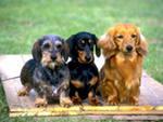 Эта порода собак охотничья, она может поднимать дичь, может преследовать дичь по следу с лаем, проникать в нору барсука или лис
