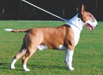 Бультерьер это бесстрашная, жесткая по натуре собака, которая редко нападает сама