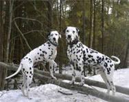 Долматин Довольно хитрая, живая по характеру собака требует много движений