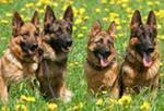 Дрессировка собак, это обучение животных определенным действиям или навыкам в области хозяйства, спорта, военного дела, цирка