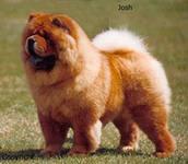 Чау-чау не та собака которая любит бегать однако она любит прогулки.