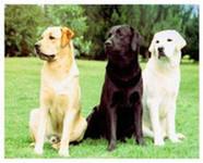 Лабрадор это отличные охотничьи собаки для работы под ружье