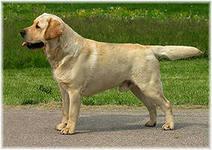 Кроме охотничьих навыков, голдена можно обучить быть поводырем для слепых