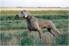 Необычайной красоты собака – азартный охотник, поэтому должна содержаться только в руках профессионального охотника.