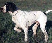 Английский пойнтер – это быстрая, выносливая, очень темпераментная и довольно возбудимая собака