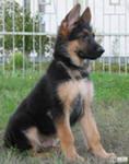 Поэтому при воспитании выставочной собаки, вы должны знать все о выбранной вами породы