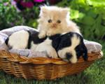 интересное о кошках это то, что у них общего с цыплятами