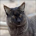 Камышовый кот предпочитает селиться в непролазных зарослях колючих
