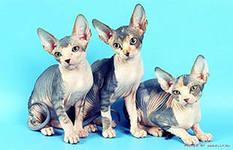 Кошка – Сфинкс это магия, состоящая из плоти и крови,  это мягкие линии тела, магия гармонии, взгляд зеленых глаз прямо в сердце.
