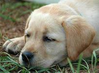 Возбудитель    чумы собак  очень устойчив и сохраняет способность заражать, находясь на холоде в высушенном состоянии до девяти месяцев.