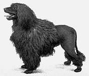 пудель-древняя охотничья собака
