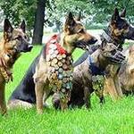 Служебные собаки – это особые животные, в характере которых заложены такие качества как твердость, послушание, живость, боевитость, бесстрашие, четкость, преданность.
