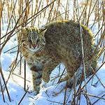 Лесной кот это жестокий охотник.