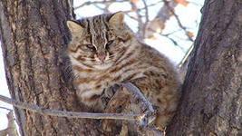 Лесной кот - это жестокий хищник.