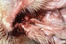 Виновники отита у собаки - это различные бактерии, вирусы, грибки.