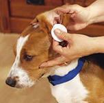 Виновниками отита у собак могут быть вирусы,бактерии и грибки.