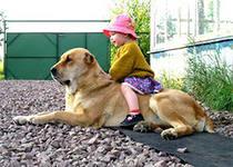 В любой семье, когда стоит вопрос, собака и дети? Начинаются сомнения о принятии решения взять или не взять собаку.