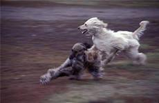 Сейчас эта афганская  борзая собака набирает популярность как собака компаньон