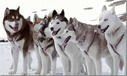 Возникнув в Сибири, ездовые собаки хаски были использованы чукотским народом для езды на санях и охранять стада оленей.
